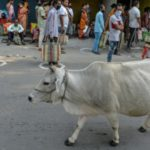 India Claims Cow Dung Chip Protects against Radiation