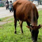 Sri Lanka to Ban Cattle Slaughter