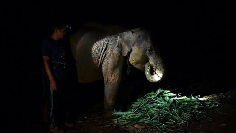 A Mahout Feeds an Elephant at Night.afp