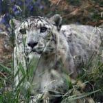 Indian Officials Capture Rare Snow Leopard