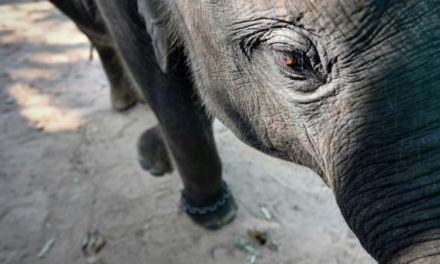 Hidden Camera Footage Shows Abusive Taming of Baby Elephant at Thai Camp