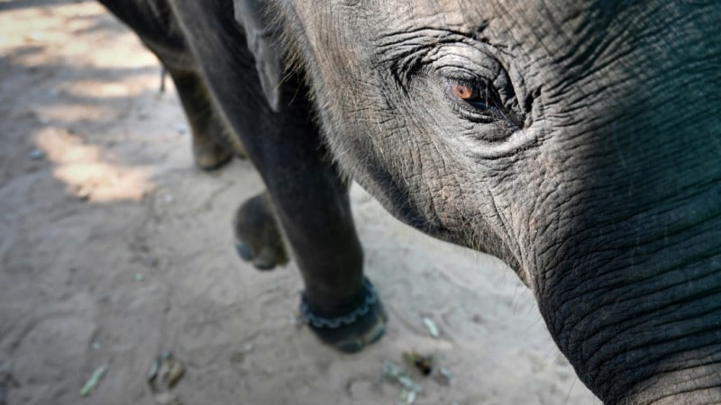 Abused Baby Elephant.afp