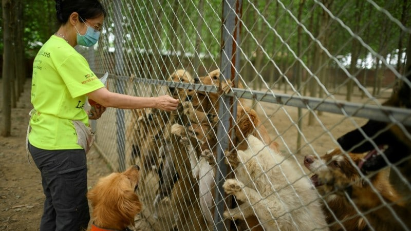 Activist in China Save Hundreds of Dogs Every Year.afp
