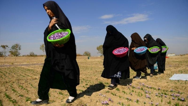 Afghanistan saffron pickers