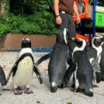 Singapore Penguins Given a Free Run Around the Zoo After Shutdown