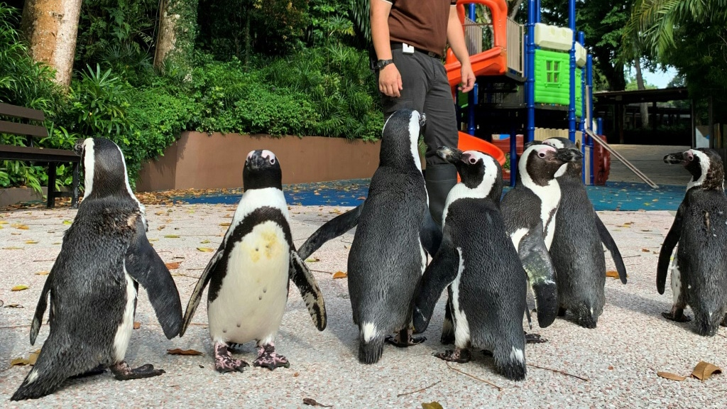 African Penguins in a Closed Zoo in Singapore.afp