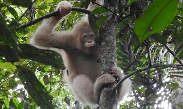 World's First Albino Orangutan Spotted in Borneo Rainforest
