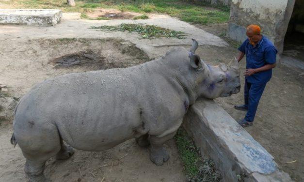 Lonely Rhino 'Kanchi' Seeks Mate in Bangladesh