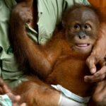BonBon: Smuggled Orangutan to be Released Back to the Wild in Bali