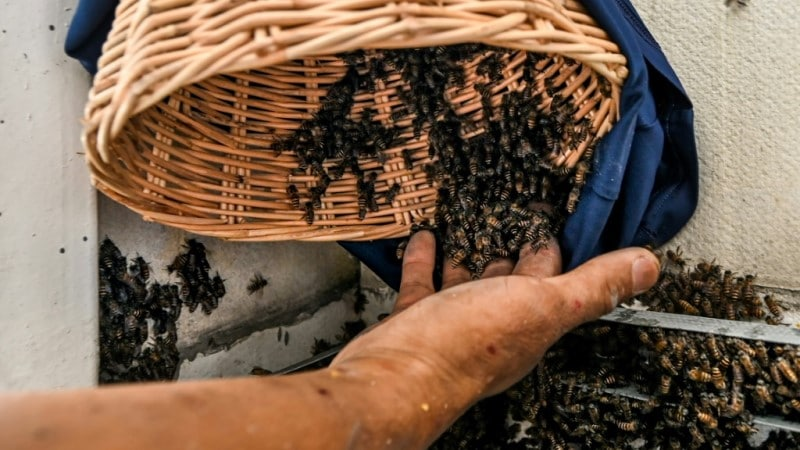 Bees Risk of Extinction