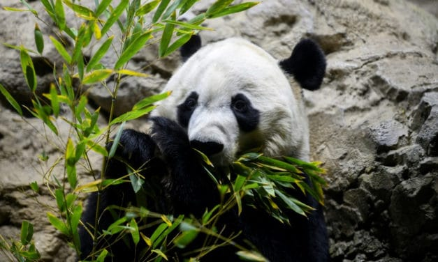Panda Bei Bei Will Leave Washington to China in His Own Boeing 777