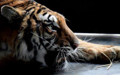 Europe's Captive Tiger Trade 'Risks Spurring Illegal Demand'