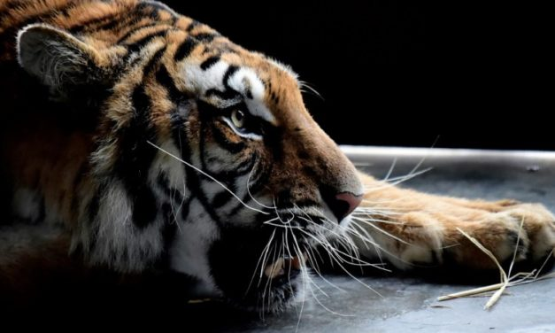 Europe's Captive Tiger Trade 'Risks Spurring Illegal Demand'