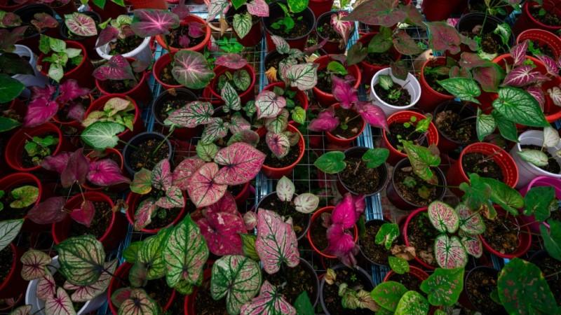 Broad-leaf Caladium in Malaysia