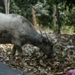 Pakistani Man was Fined Eight Buffaloes for Racial Slur