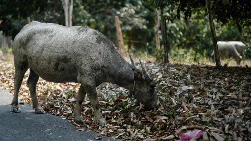 Buffalo in Temerloh Malaysia