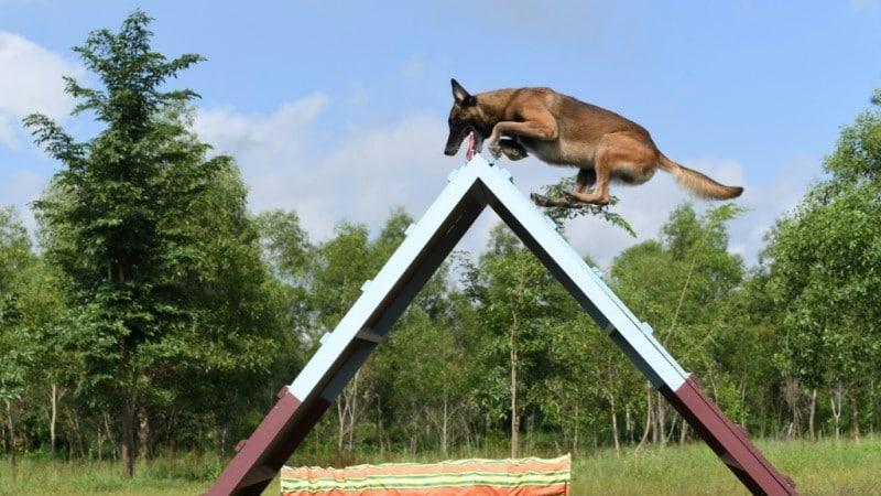 Cambodia dog training