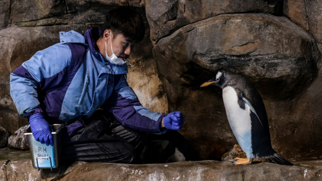 Carers Work Hard to Keep the Penguins Healthy.afp