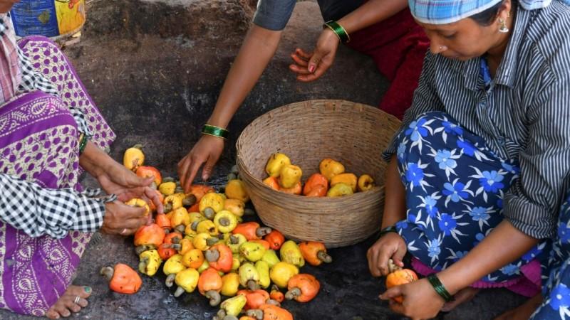 Cashew Apple Harvesting Season