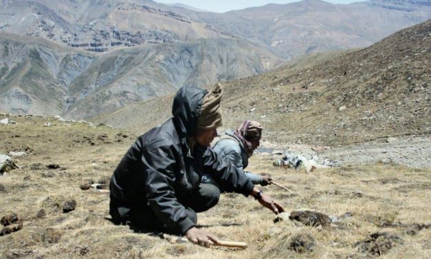 'Himalayan Viagra' Harvest Shut Down Due to Pandemic