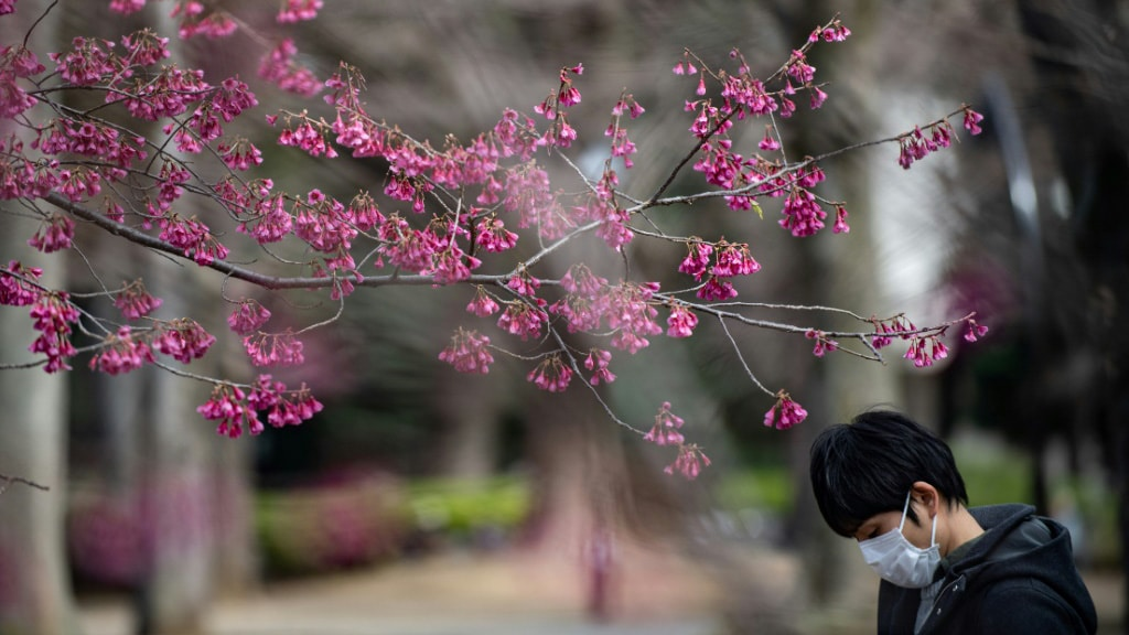 Cherry Blossom Trees Japan.afp