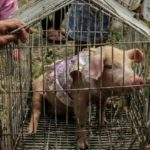 Indonesia: Muslims Pushes Back on Pigs Celebration