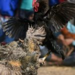 Indian Rooster Kills Owner with Cockfight Blade