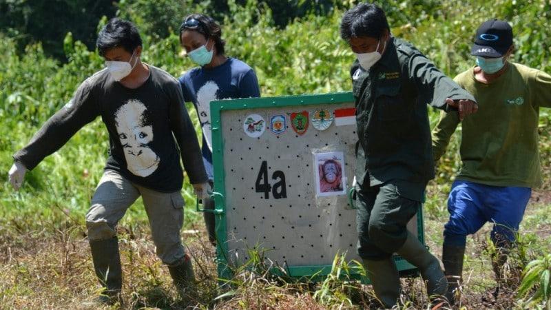 Coronavirus Poses Danger to Orangutans