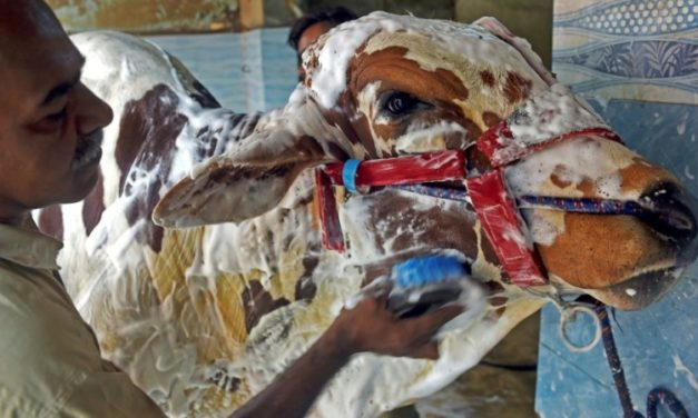 Pakistanis' Animals Scrub Clean at the Car Wash ahead of EID Festival
