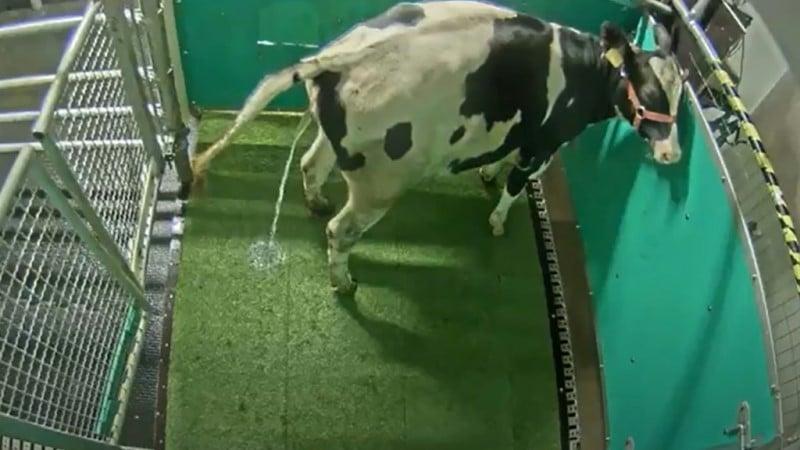 Cow Urinate in a Designated Toilet Area