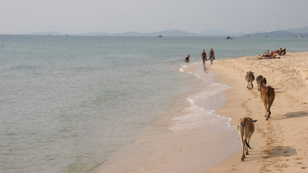 Cows on Phu Quoc Beach - ArchieB