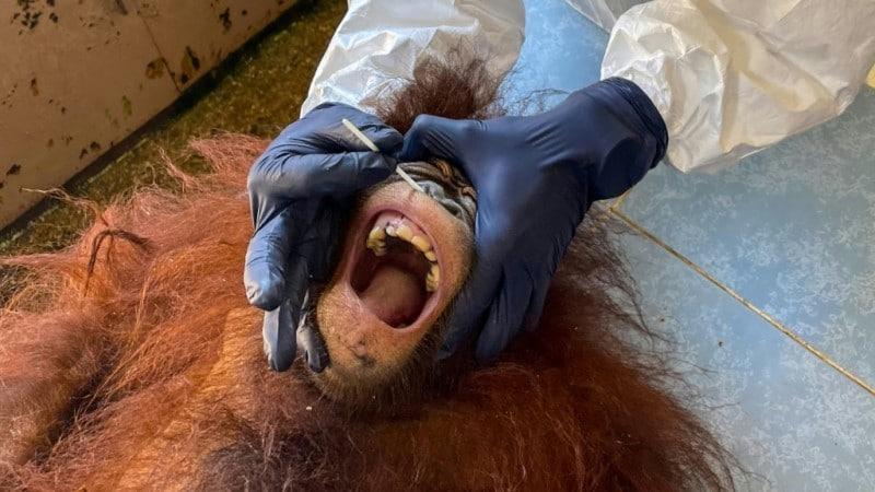 Critically Endangered Orangutans in Malaysia