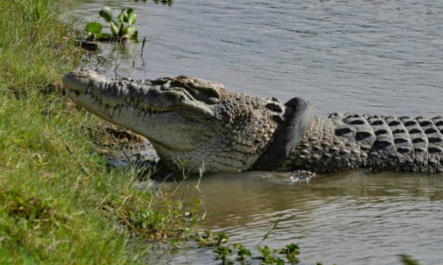 Monster Croc Wrangler Joins Indonesia to Save Tire-Trapped Crocodile