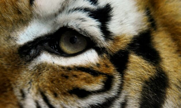 Two Tigers Gunned Down in China's Latest Escaped-Cat Blunder
