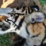 Another Indonesian Report of Suspected Sumatran Tiger Poisoning
