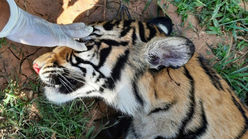 Dead Tiger Found at a Villager's Farm in Indonesia.afp