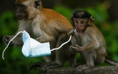 From Macaques to Crabs, Wildlife Faces Threat from Face Masks