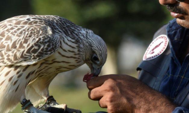 Poachers' Paradise: Gulf Hunts Fuel Pakistan Falcon Trafficking