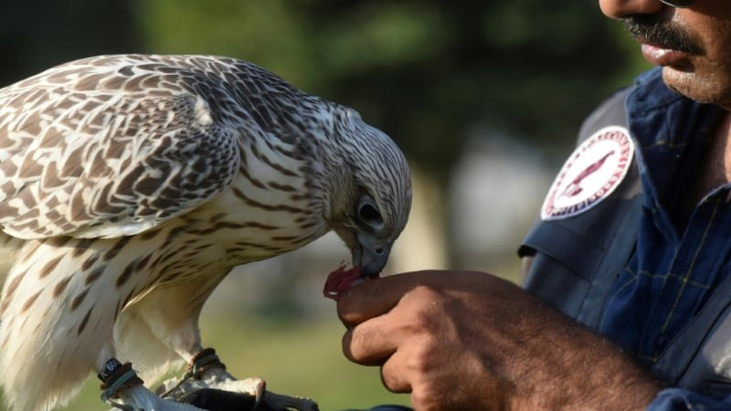 Demand of Hunting Falcon