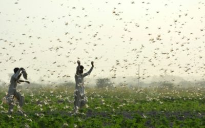 An Irresistible Scent Makes Locusts Swarm, Study Finds