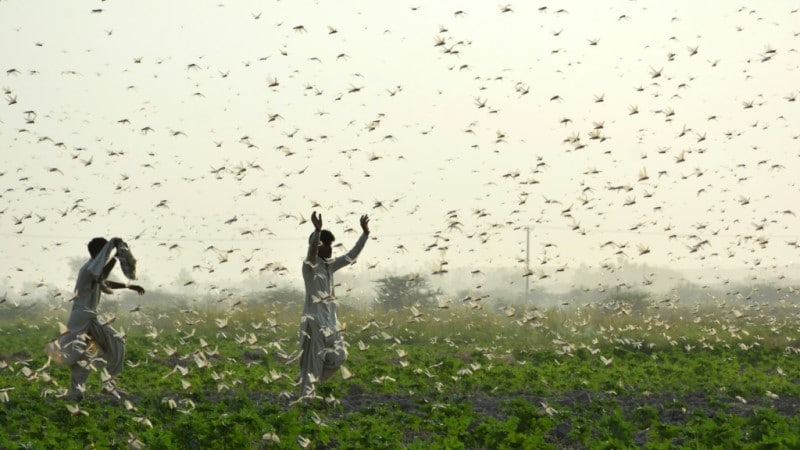 Devastating Swarms of Locusts