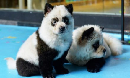 Adorable Panda Dogs Causes Uproar In China Animal Rights Debate