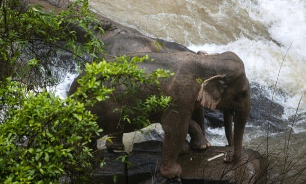 Tragedy: Multiple Elephants Died After Trying to Save Baby Calf