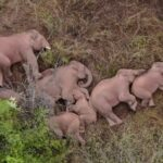 Chinese Television Launched 24 Hour Live-feed of a Herd of Elephants' Epic Journey