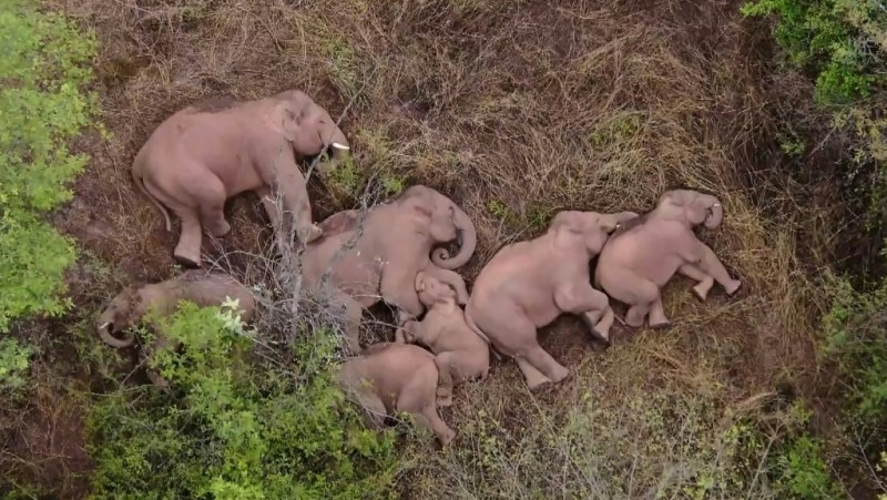 Elephants Take Nap