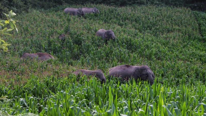 Elephants in China