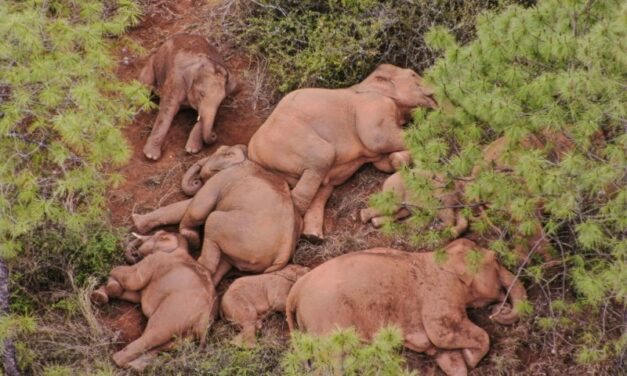 Injured Baby Elephant Abandoned by Rogue Chinese Herd Saved