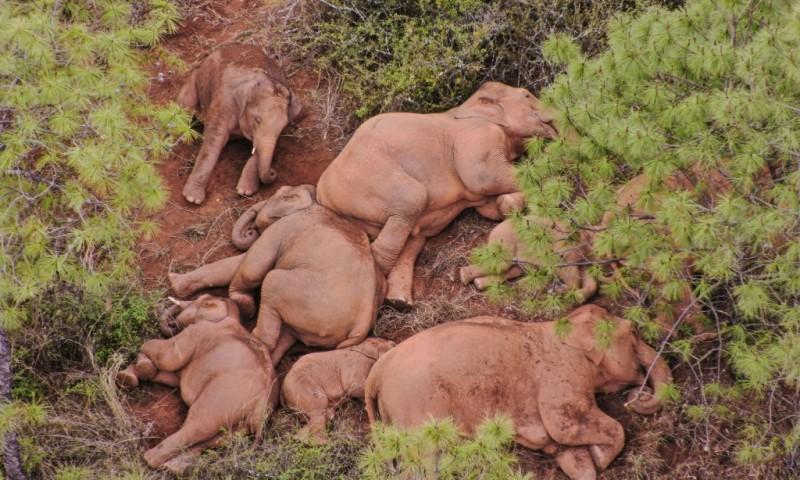 Endangered Asian Elephant