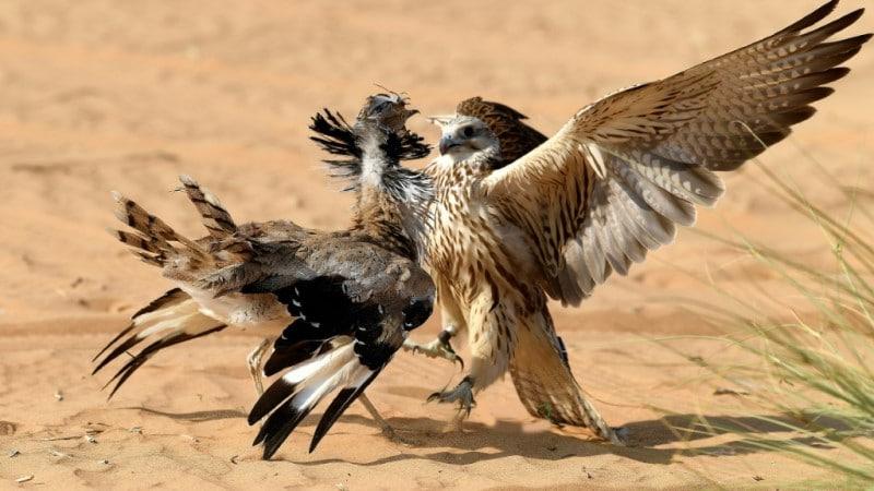 Falcon Hunt a Houbara Bustard