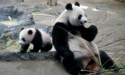Tokyo Panda's Possible Pregnancy Delivers Stocks Bump